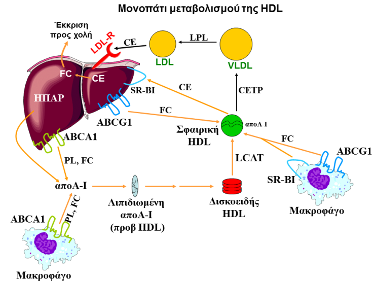hdl_metab_path_gr